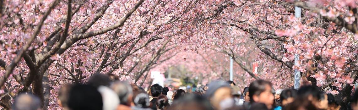 Gente paseando debajo de cerezos